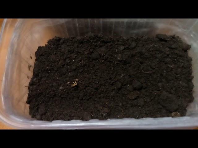 Лук из семян.Как я высеваю семена лука.