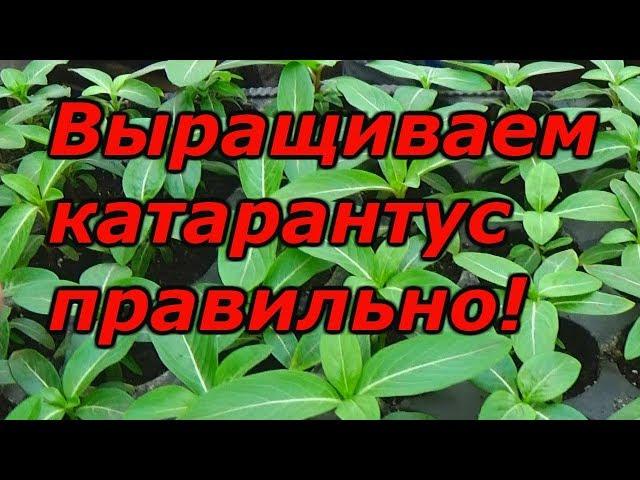 Катарантус — рассаде 2 месяца после посева, что делать?