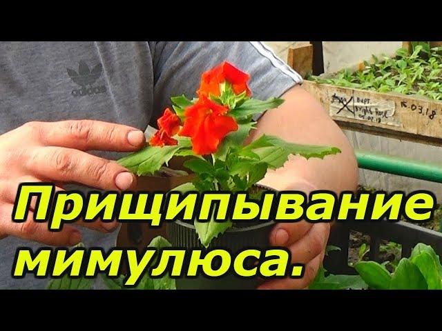 МИМУЛЮС — выращивание красивого цветка!