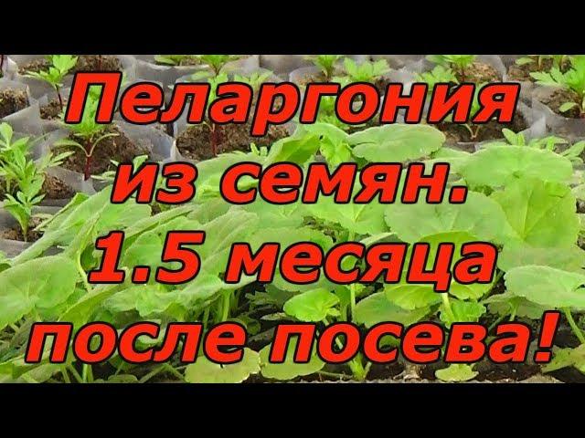 ПЕЛАРГОНИЯ (ГЕРАНЬ) через 1.5 месяца после посева. Как вырастить красивую пеларгонию?