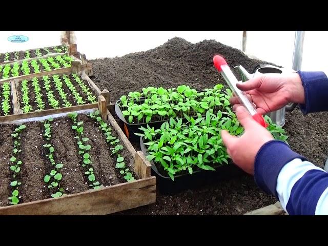 ПЕРЕЦ И БАКЛАЖАНЫ — ПИКИРУЕМ ВОВРЕМЯ! Как вырастить качественную рассаду?