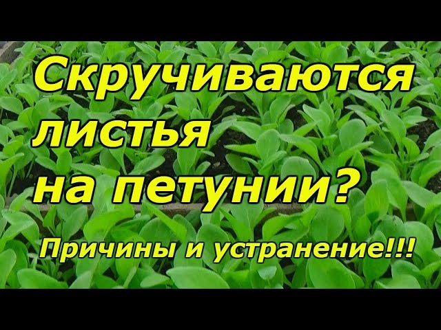Почему скручиваются листья на рассаде петунии?