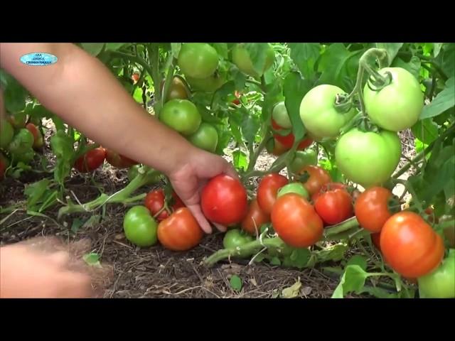 Посев хороших низкорослых томатов. Сорта, гибриды, ГМО — в чём разница?