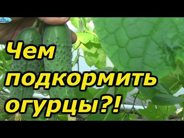 ОЧЕНЬ важная подкормка огурцов в плодоношении. Внимательно читайте описание к подкормкам!
