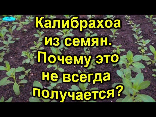 Калибрахоа из семян- главная причина,почему не всегда это получается?