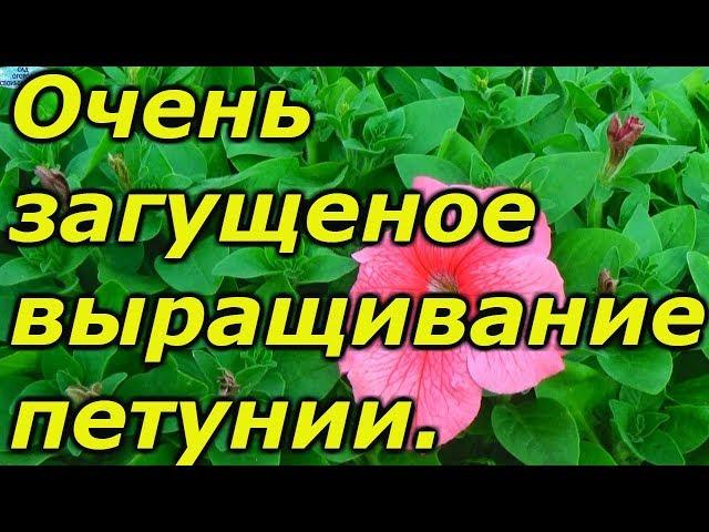 Петуния для «ленивых»- 140  растений в одном ящике!