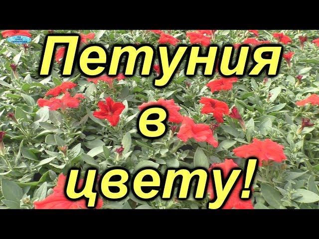 Петуния-обзор цветущей петунии по сортам!