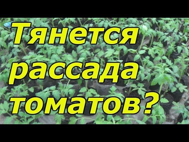Рассада томатов вытягивается? Как это можно остановить.