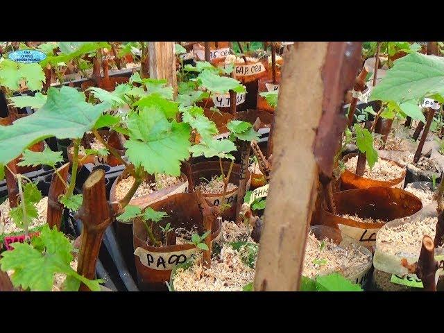 Саженец винограда из одной почки — маленькая хитрость!)