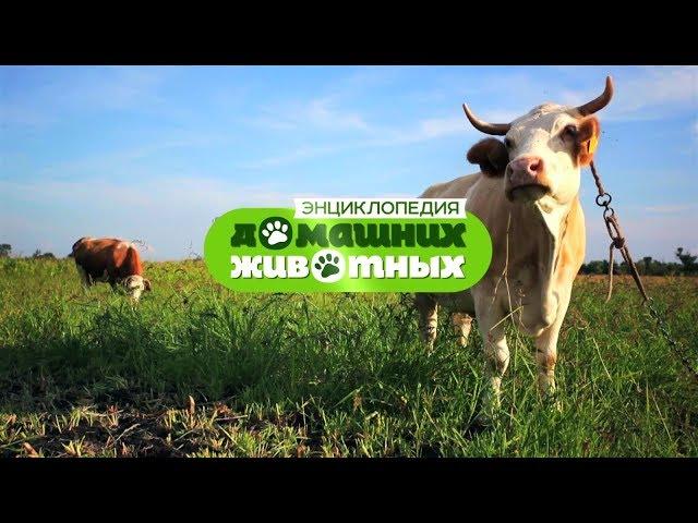 Энциклопедия домашних животных №32 — Грьковская коза