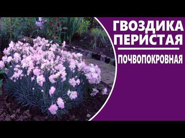 Гвоздика перистая   Неприхотливые многолетние цветы для сада