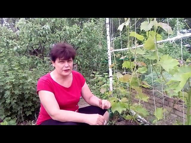 Как нормировать виноград гроздями  Основные правила