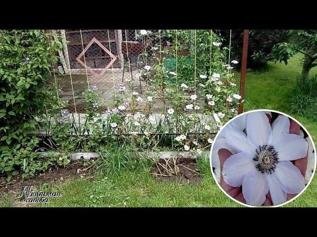 Клематис  посадка весной (пересадка) взрослого куста . Показываю состояние куста и его цветение