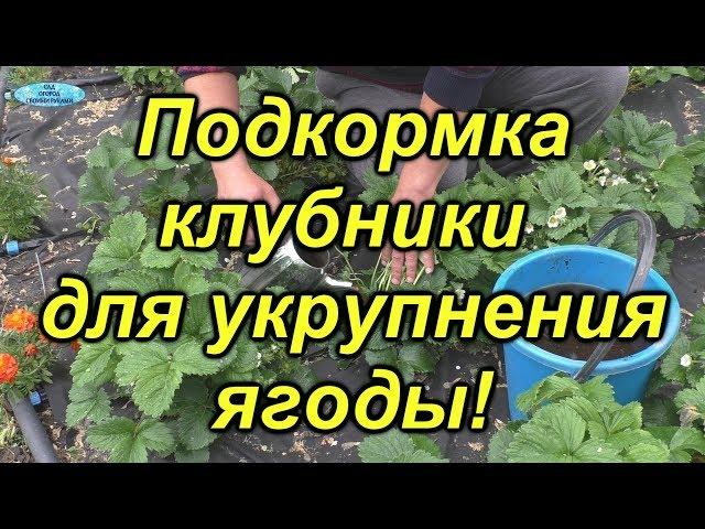 Клубника-подкормка для укрупнения ягоды.
