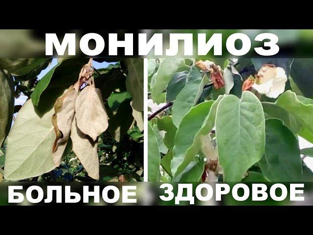 Монилиоз на плодовых деревьях . Показываю результат  своевременного лечения