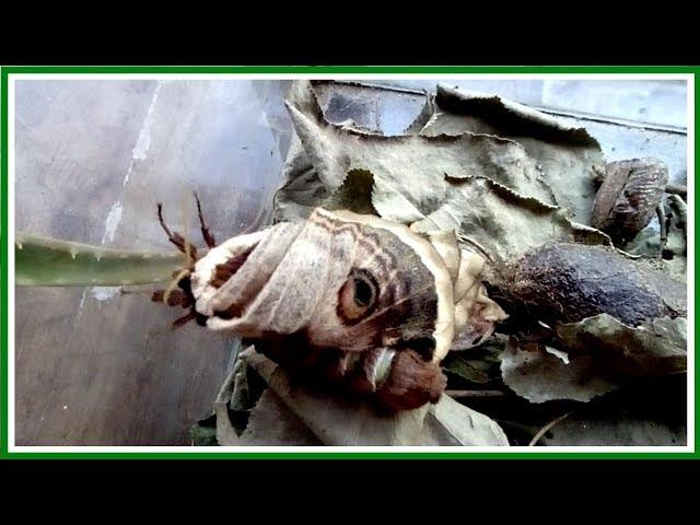 Павлиноглазка грушевая  или сатурния грушевая .  Как я вырастила из гусеницы прекрасную бабочку