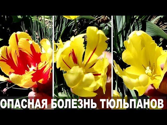 Почему тюльпаны меняют цвет.  Опасный вирус — пестролепестность тюльпанов
