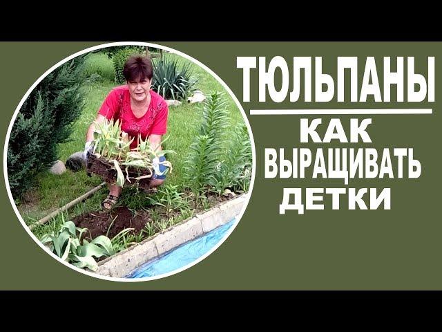 Размножение тюльпанов   Выкапываю деток из школки .  Полезно и интересно