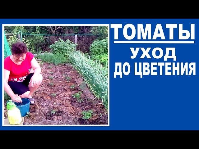 Уход за томатами до цветения .  Чем подкормить , профилактика фитофтороза и борьба с вредителями
