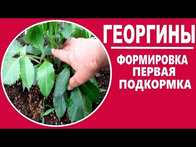 Выращивание георгин . ЧАСТЬ 4  — начало формирования .  Прищипка георгин , подкормки