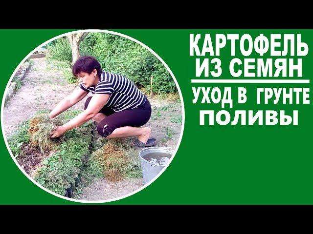 Выращивание картофеля из семян .  Часть 4 — Уход за картофелем в грунте  Агротехника и поливы