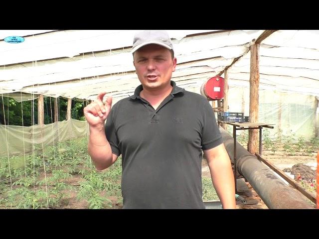 Выращивание томатов. Это нужно сделать обязательно!