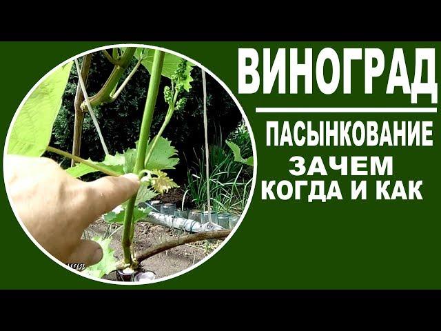Зеленые операции на винограде  Зачем  когда и как пасынковать виноград