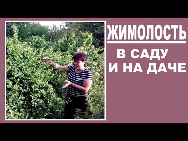 Жимолость в саду и на даче   Жимолость вечнозеленая и простая