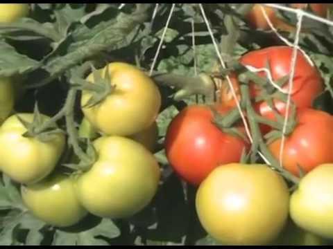 АССОРТИМЕНТ САДОВОГО ПИТОМНИКА, СРАВНИВАЕМ ПОМИДОРЫ, СРАЖАЕМСЯ СО СЛИЗНЯКАМИ. Урожайные грядки