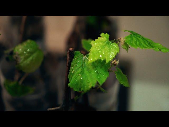 Черенки винограда через 45 дней. Пикирование помидоров.