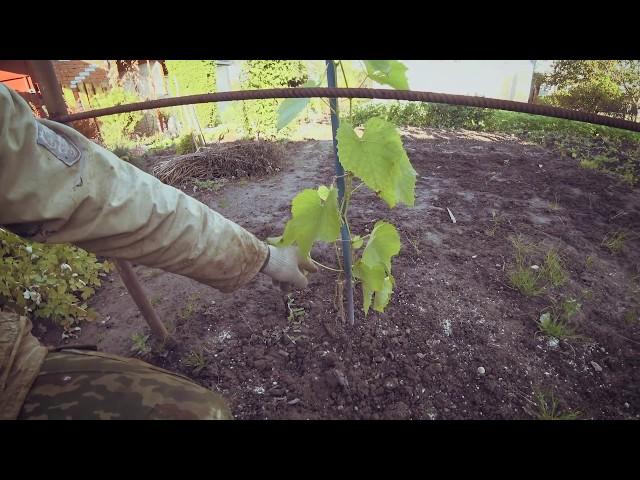 Февральский виноград. Как у него дела? Любимый сад