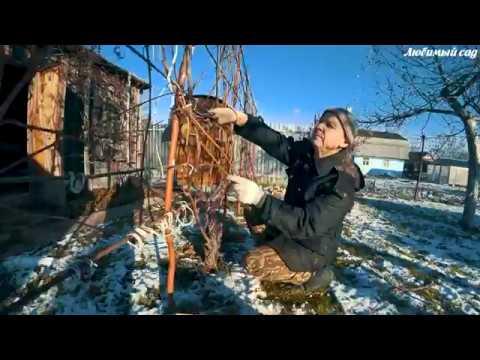 Как обрезать виноград. Как подготовить виноград к зиме. Любимый сад