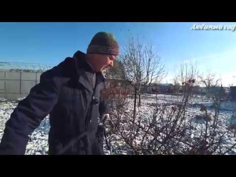 Как подготовить кусты смородины и крыжовника к зиме. Любимый сад