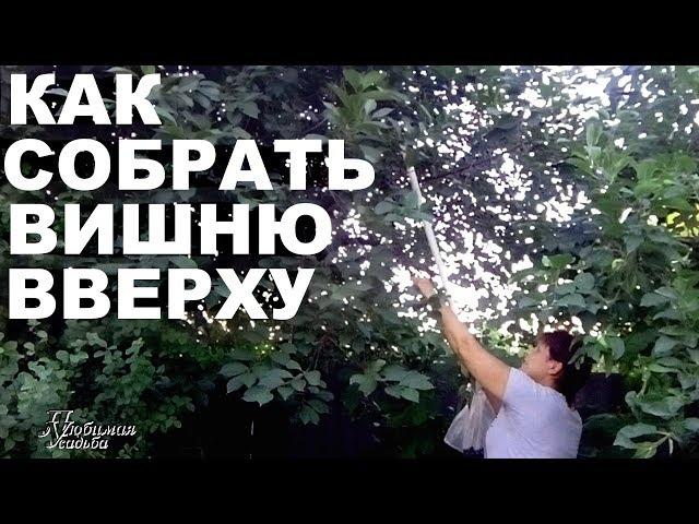 Как  собрать  весь урожай вишни  Показываю свое приспособление в действии