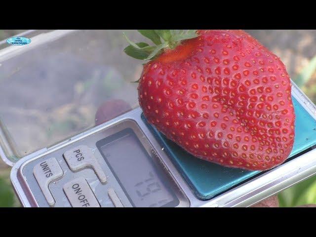 Клубника сорта «Хоней»-первые ягоды!