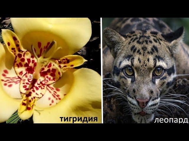Необычные цветы для сада . Тигридия  . Мой опыт выращивания