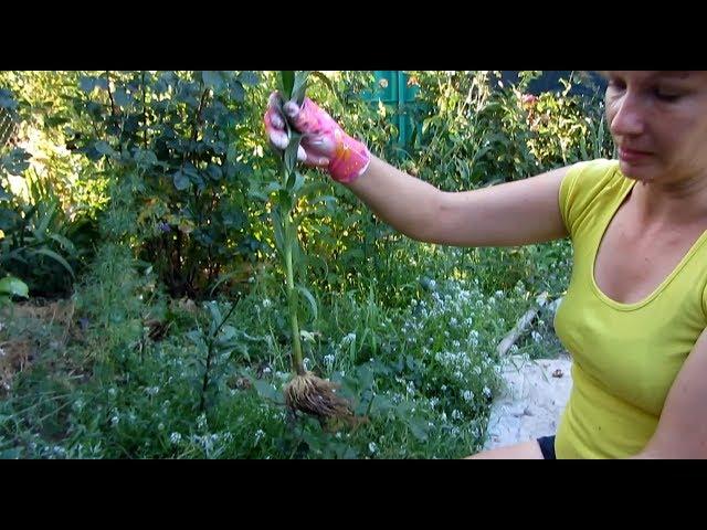 Размножение лилии чешуйками. Посадка после покупки