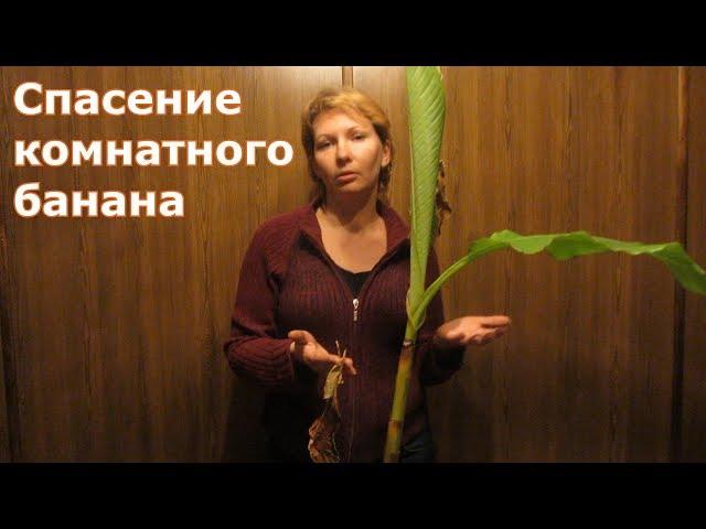 Спасение комнатного банана. Аннона или Сахарное яблоко