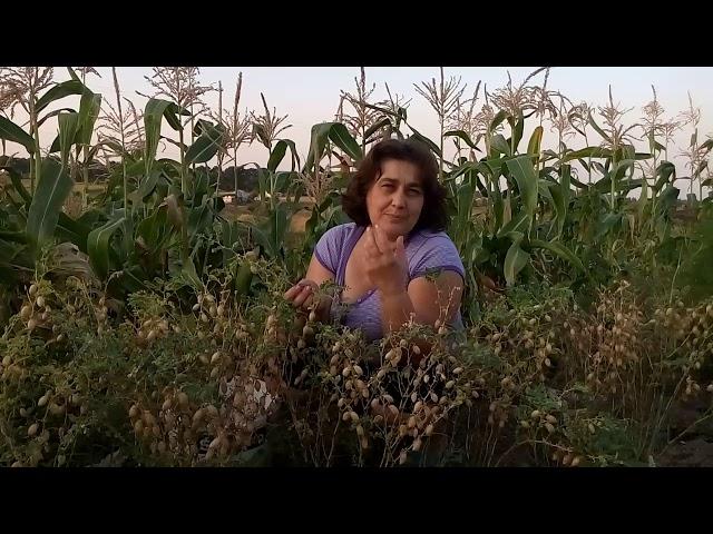 Нут выращивание на огороде 54