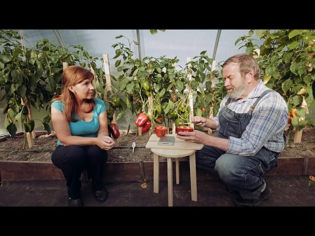 НАШ каталог сортов томатов - Дачный форум: дача, сад, огород
